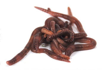tiger worms | worms in the HOTBIN compost bin